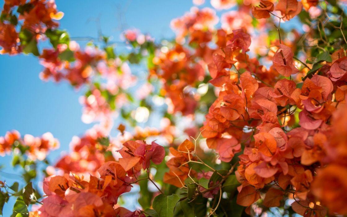 Bougainvillea leaves flowers blossoms macro wallpaper