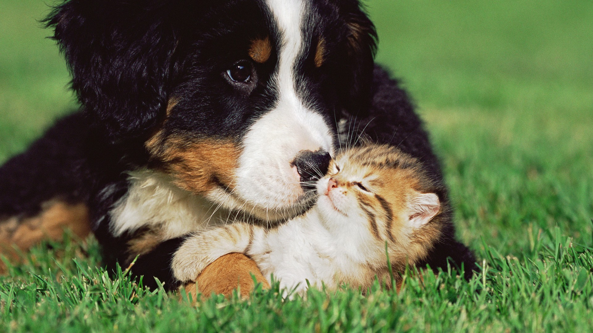 cat And Dog Love Wallpaper : cats Dogs Kittens Grass Animals puppy cute love wallpaper 1920x1080 52988 WallpaperUP