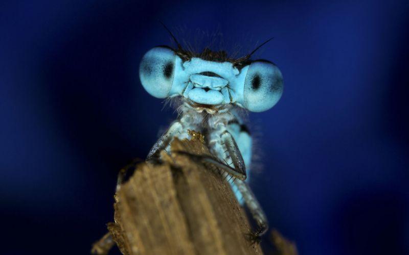 dragonfly macro eyes face wallpaper