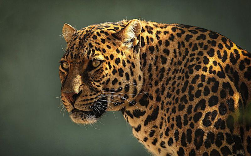 leopard face eyes spots pattern wallpaper