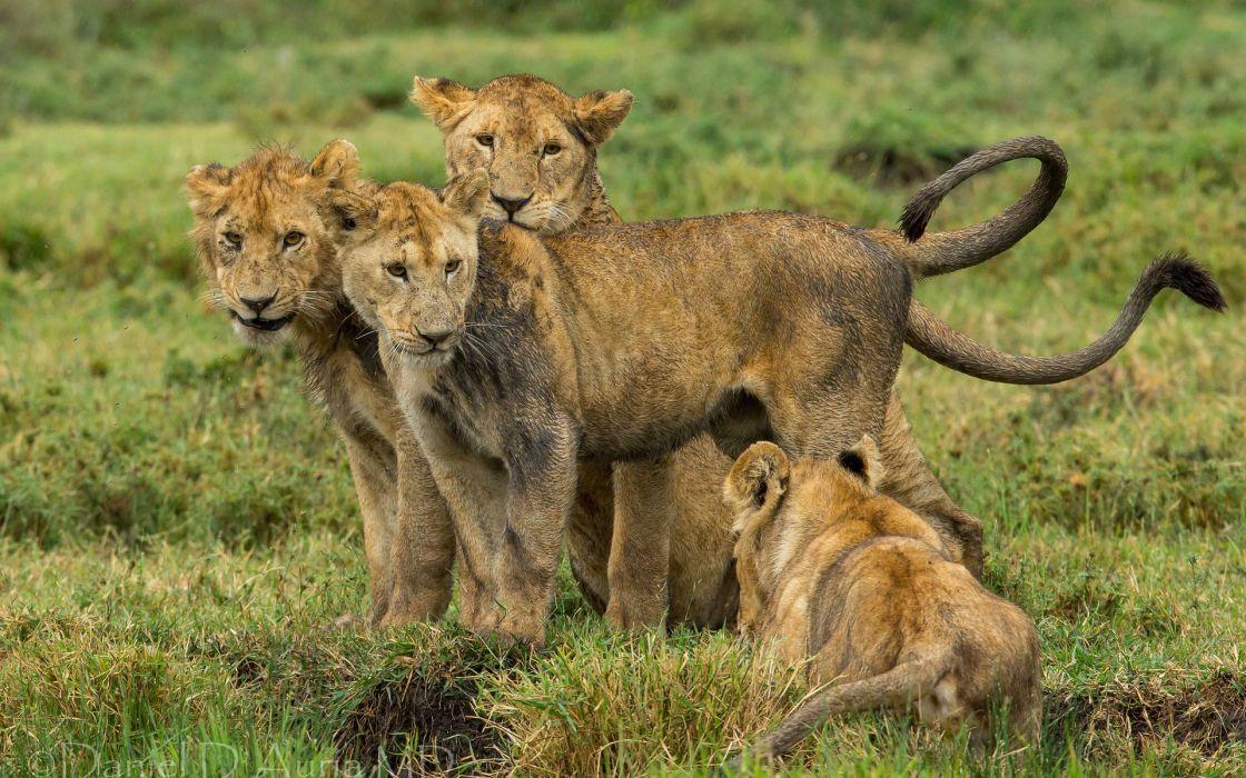 lions cubs babies cats wallpaper