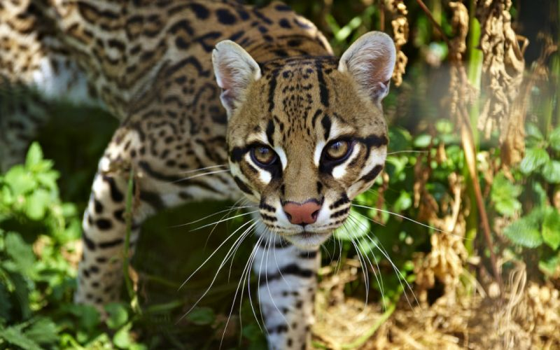 Ocelot cats spots pattern face eyes wallpaper