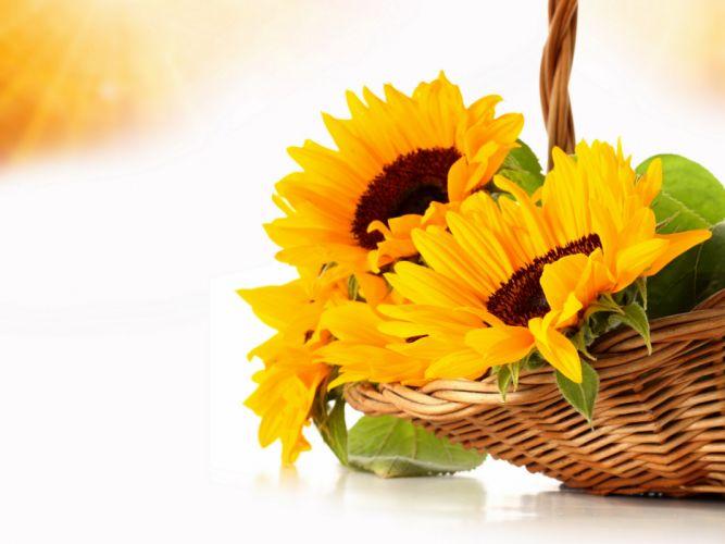 Sunflowers Orange Wicker basket Flowers still life wallpaper