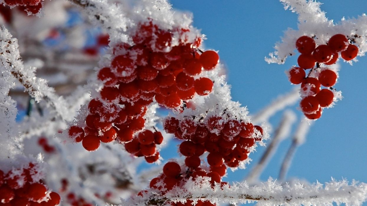 winter frost red berries snow twig branch macro wallpaper