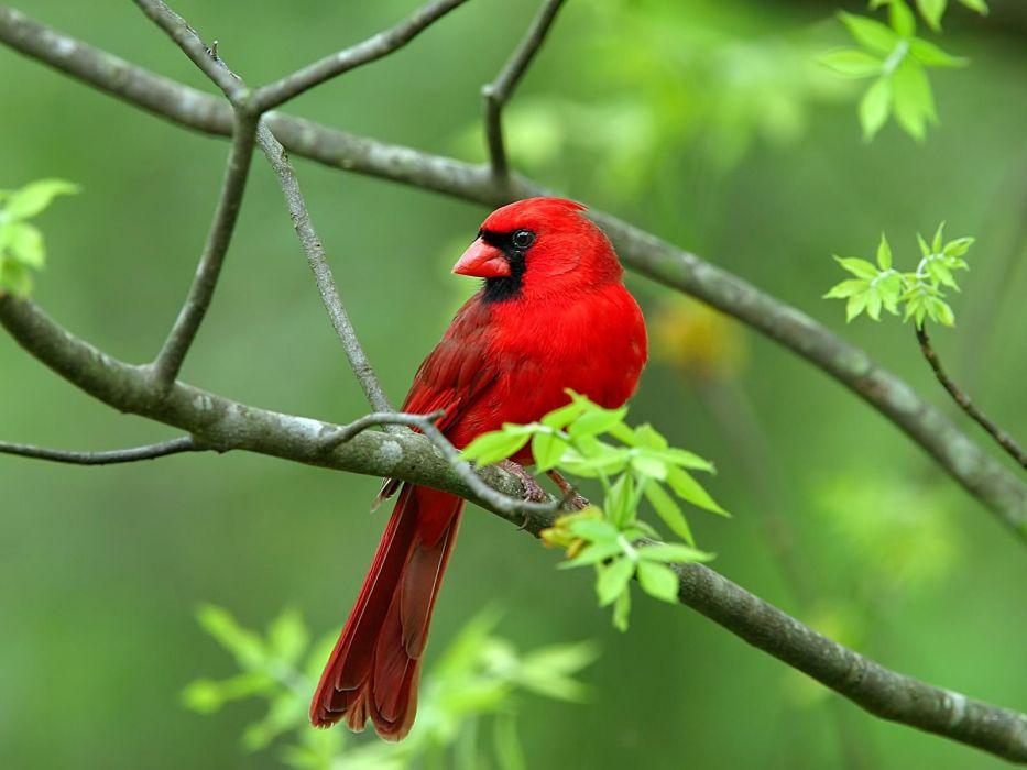 nature birds animals Northern Cardinal wallpaper