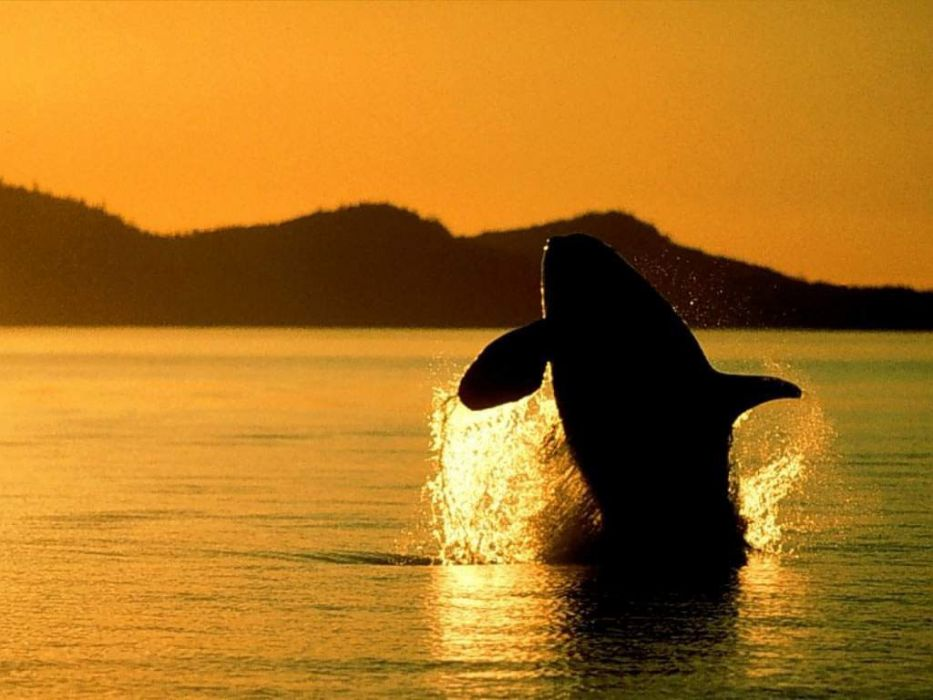 animals whales wallpaper