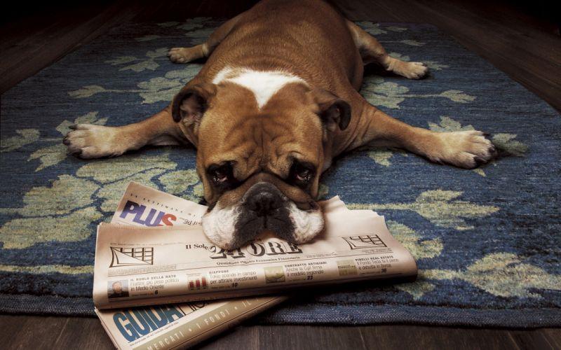 floor animals dogs funny lying down newspapers rugs wood floor wallpaper