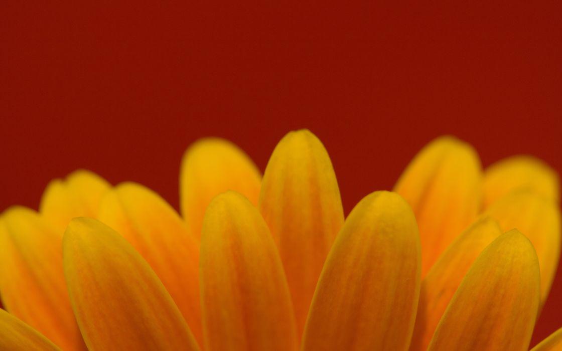 macro flower petals yellow flowers wallpaper