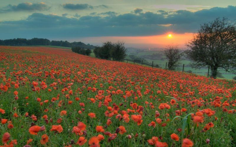 fields poppy wallpaper