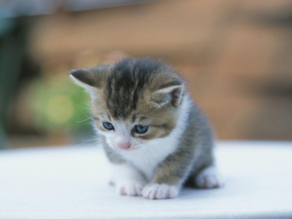 cats kittens wallpaper