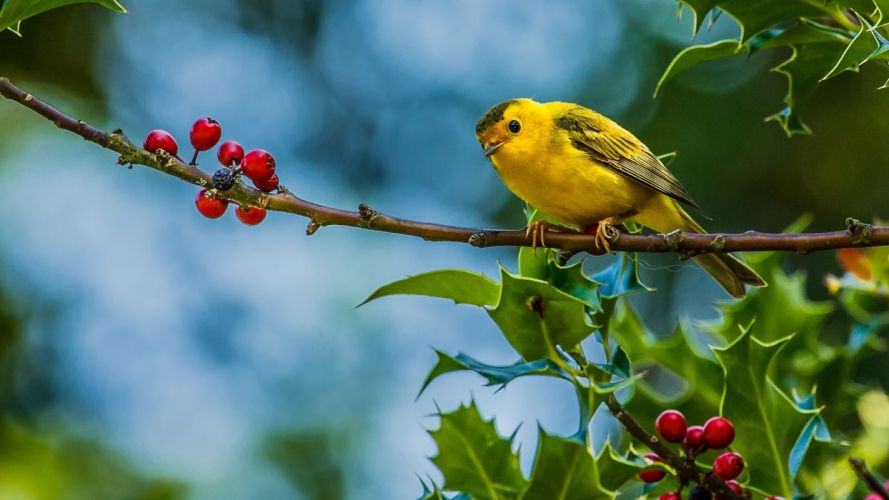 Cute Yellow Bird wallpaper