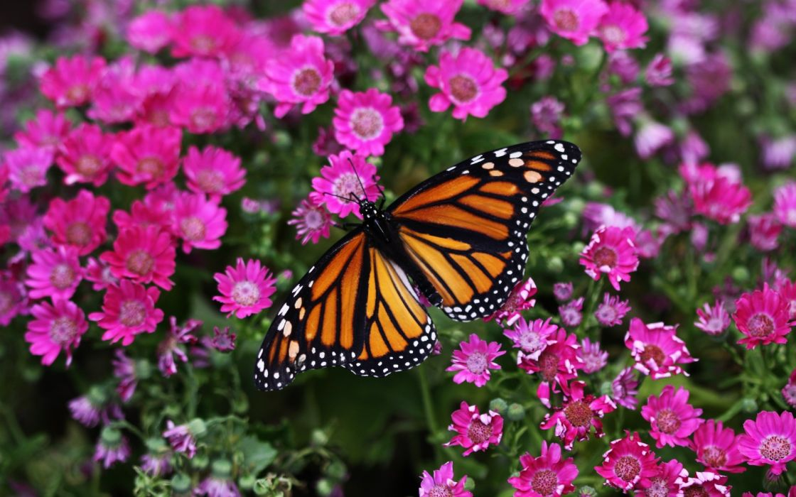 flowers macro butterflies wallpaper