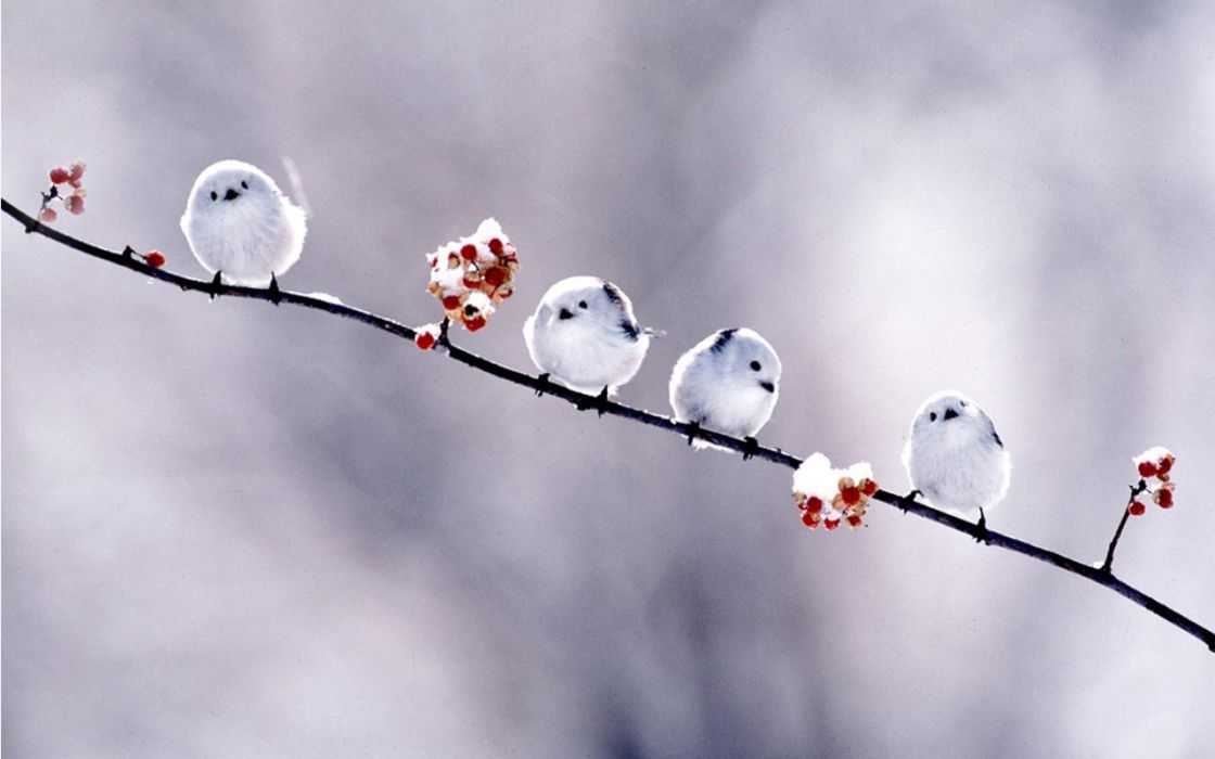 flowers birds outdoors branches Long-tailed Tit wallpaper