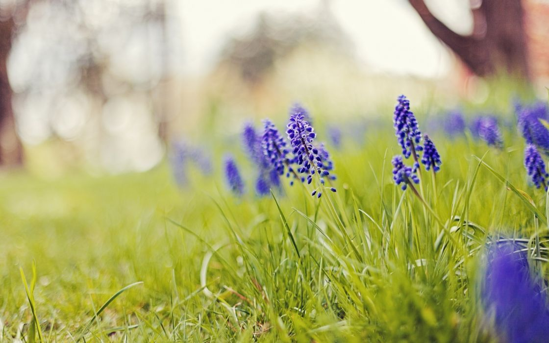 nature flowers grass depth of field blue flowers hyacinths wallpaper