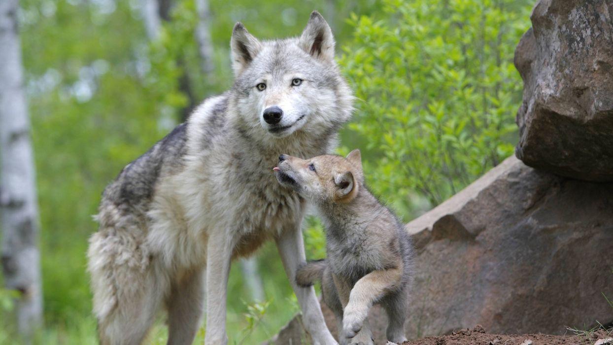 animals Minnesota cubs wolves drops wallpaper