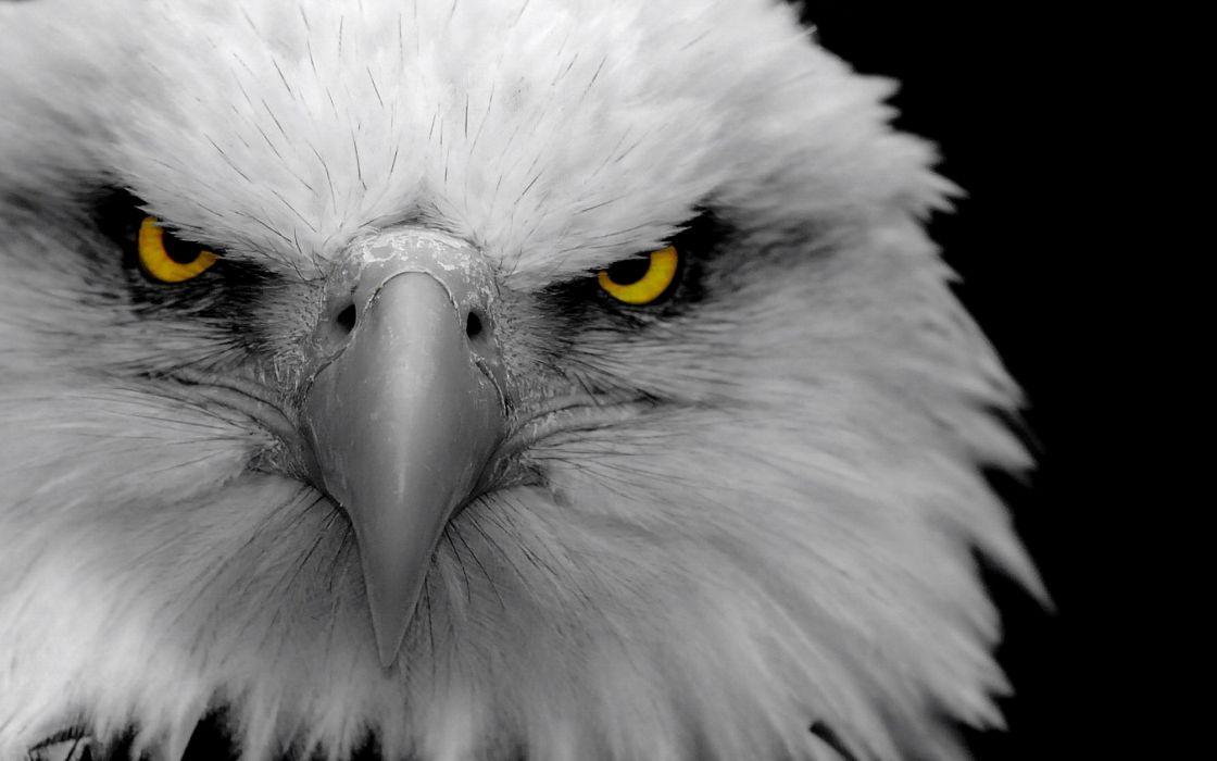 eagles bald eagles birds wallpaper