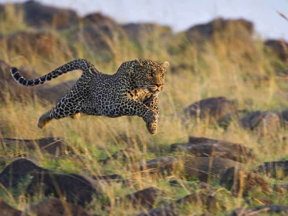 animals cheetahs mara running Kenya wallpaper