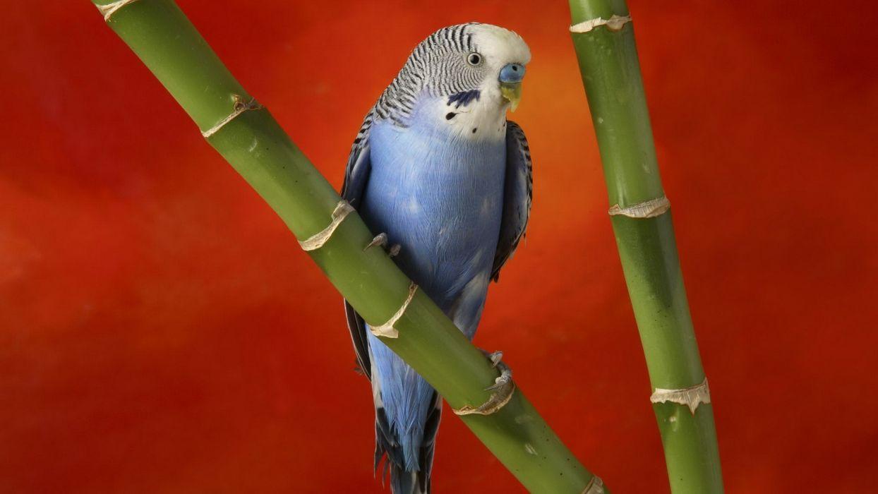 multicolor birds parakeets wallpaper