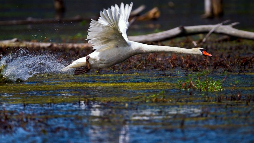 nature birds wildlife swans wallpaper