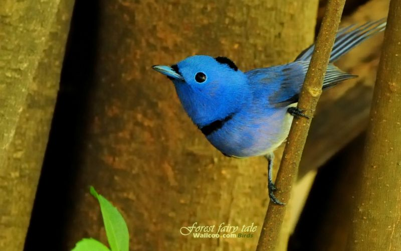 birds wildlife Blue Flycatchers wallpaper