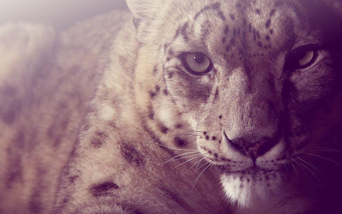 animals cheetahs wallpaper