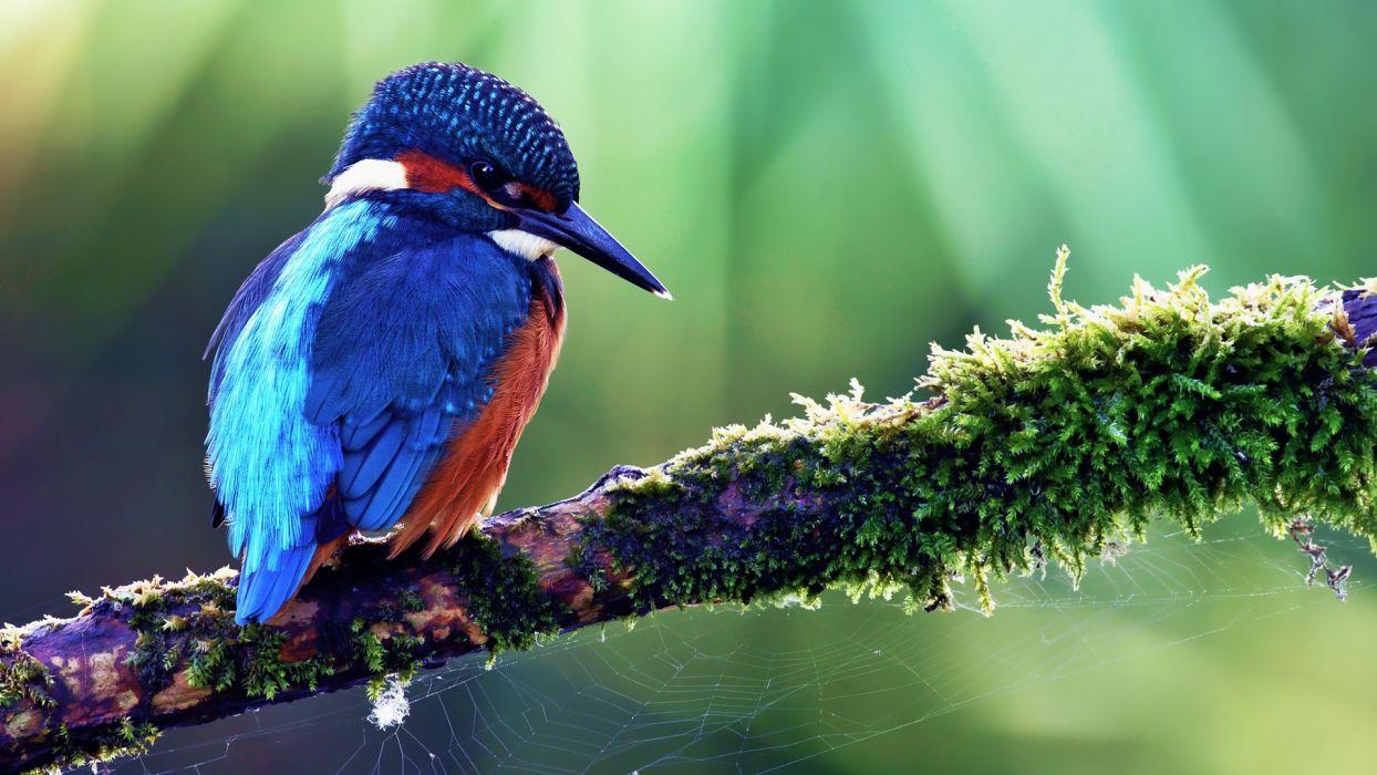 nature birds kingfisher wallpaper