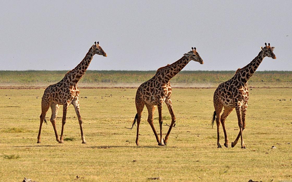 animals giraffes wallpaper