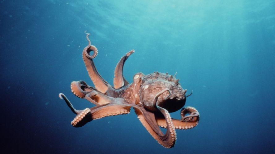 octopus underwater wallpaper