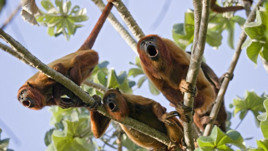 red venezuela monkeys wallpaper