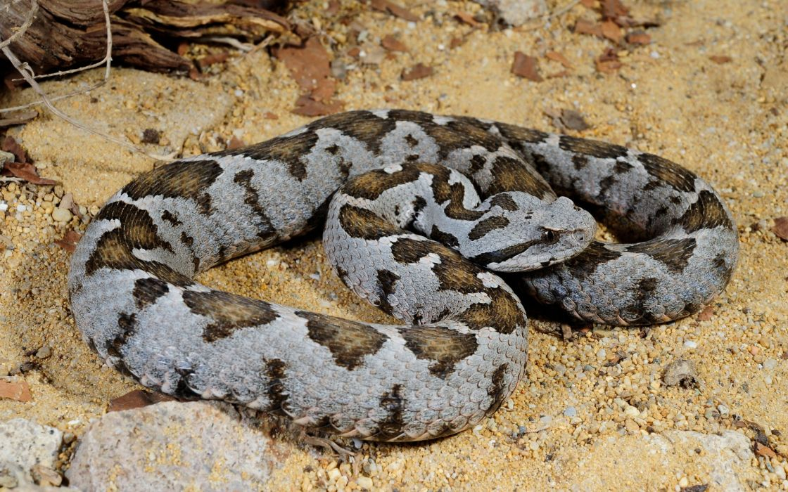 nature animals snakes wallpaper