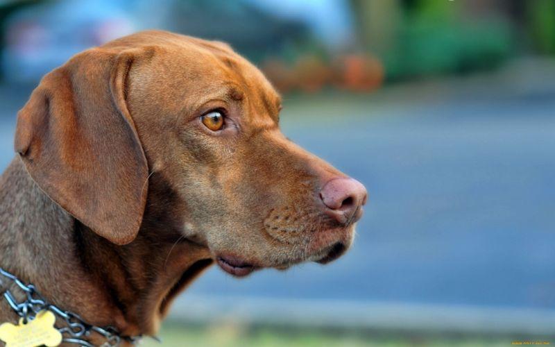 animals dogs vizsla wallpaper