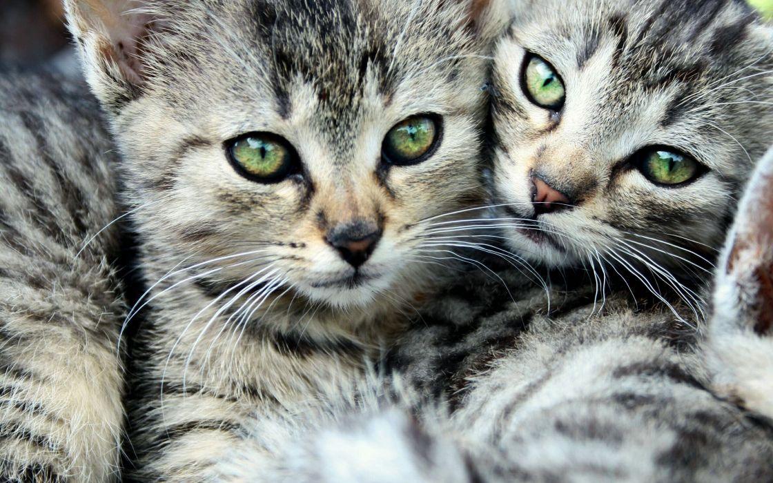 cats animals green eyes kittens wallpaper