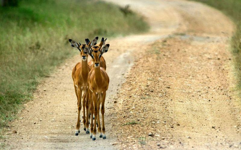animals roads Impala Uganda wallpaper