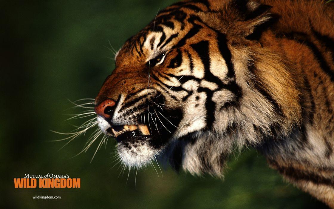 nature animals tigers wildlife wallpaper