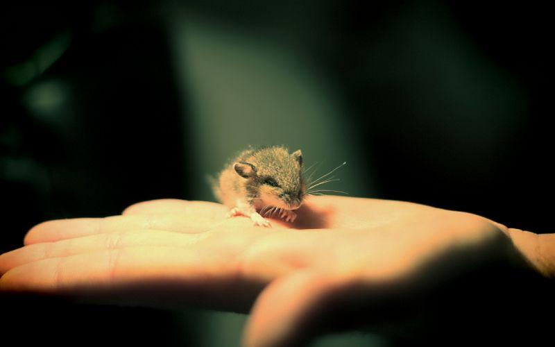 animals hands mice wallpaper