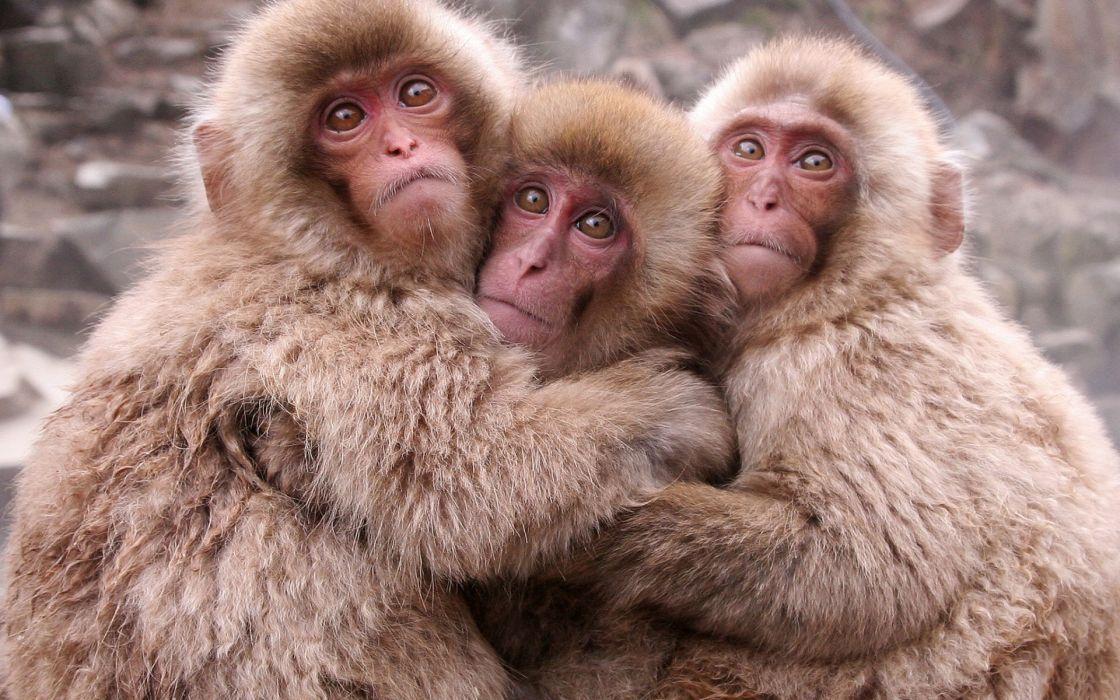 animals monkeys Japanese Macaque wallpaper