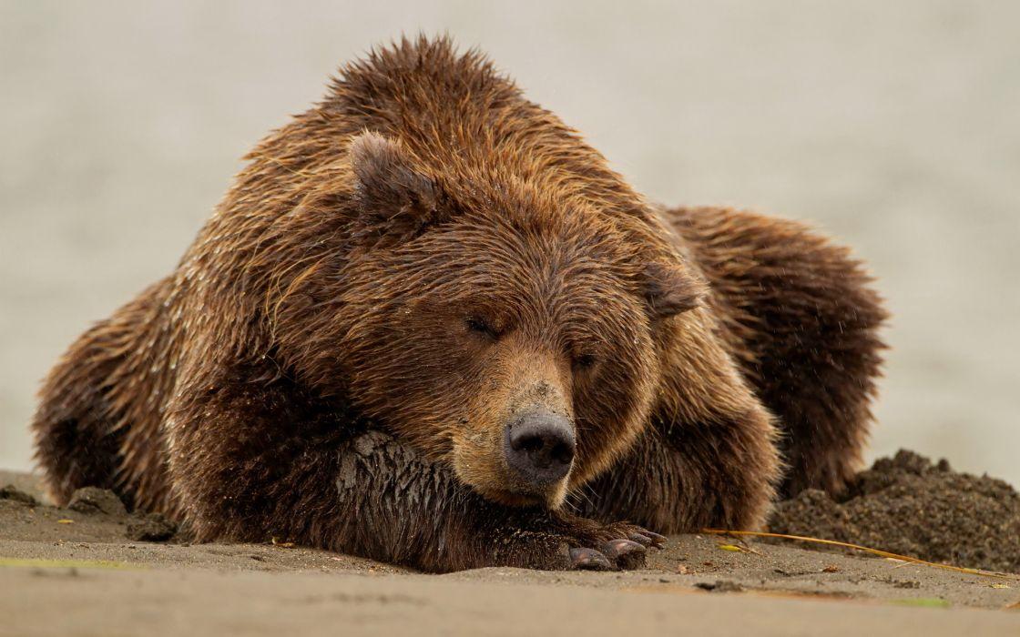 Bears Brown Wet Animals wallpaper