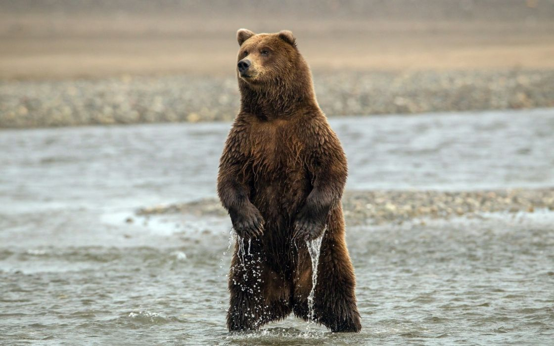 bears rivers drops wallpaper