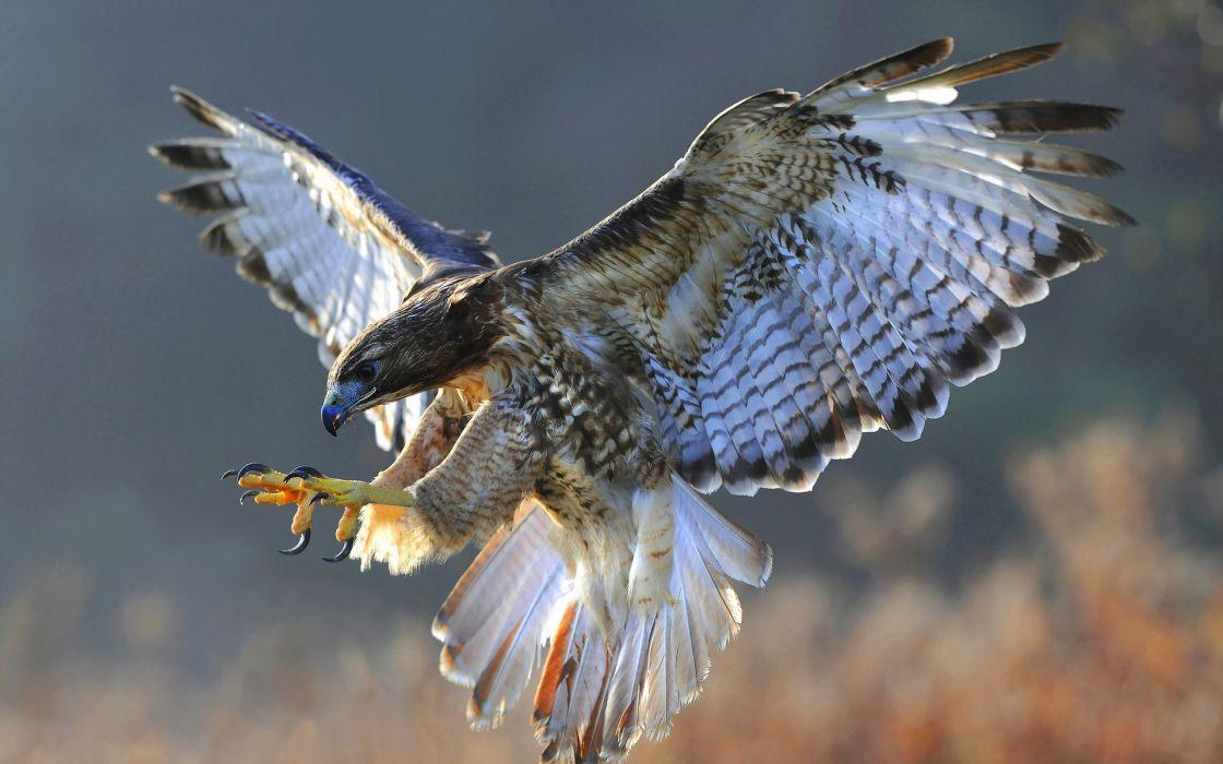 bird hawk nature flight wallpaper