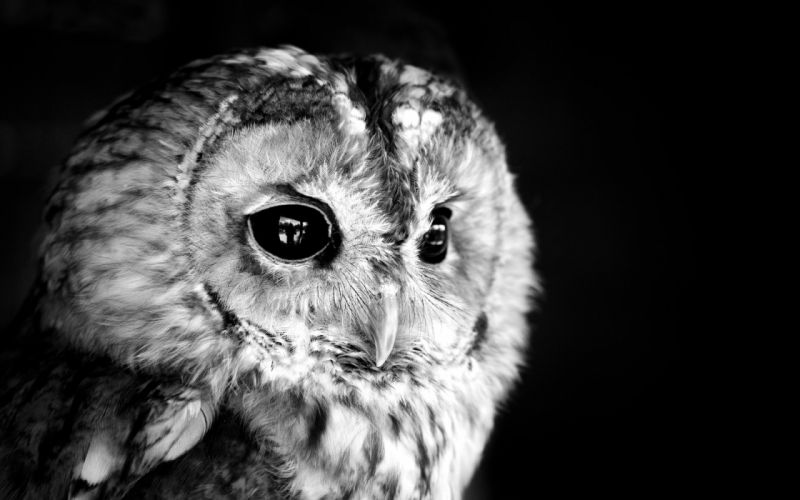 black owl photo white monochrome face eyes feathers wallpaper