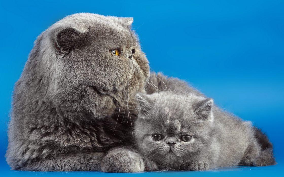 Cats Grey Fluffy Kittens Animals babies face eyes wallpaper