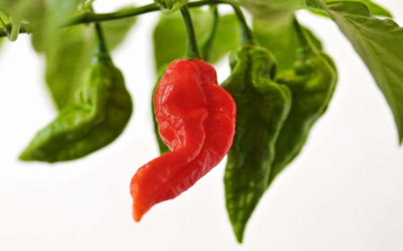 green chili peppers wallpaper