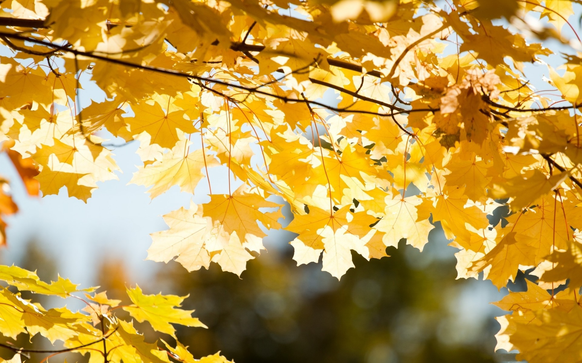 Autumn branches leaves close-up fall trees wallpaper ...