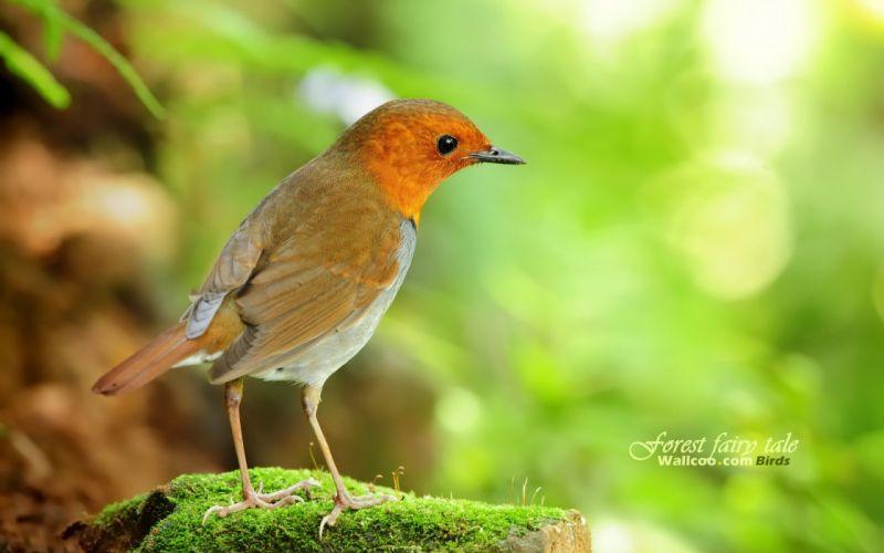 birds Japanese robins wallpaper
