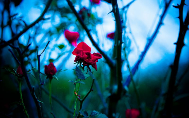flowers plants bokeh depth of field roses branches red flowers thorns wallpaper