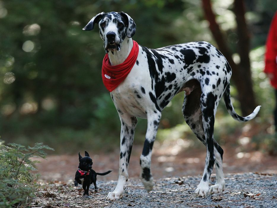 happy animals dogs chihuahua great dane wallpaper