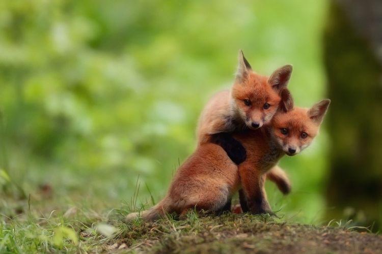 foxes babies cubs kits cute wallpaper