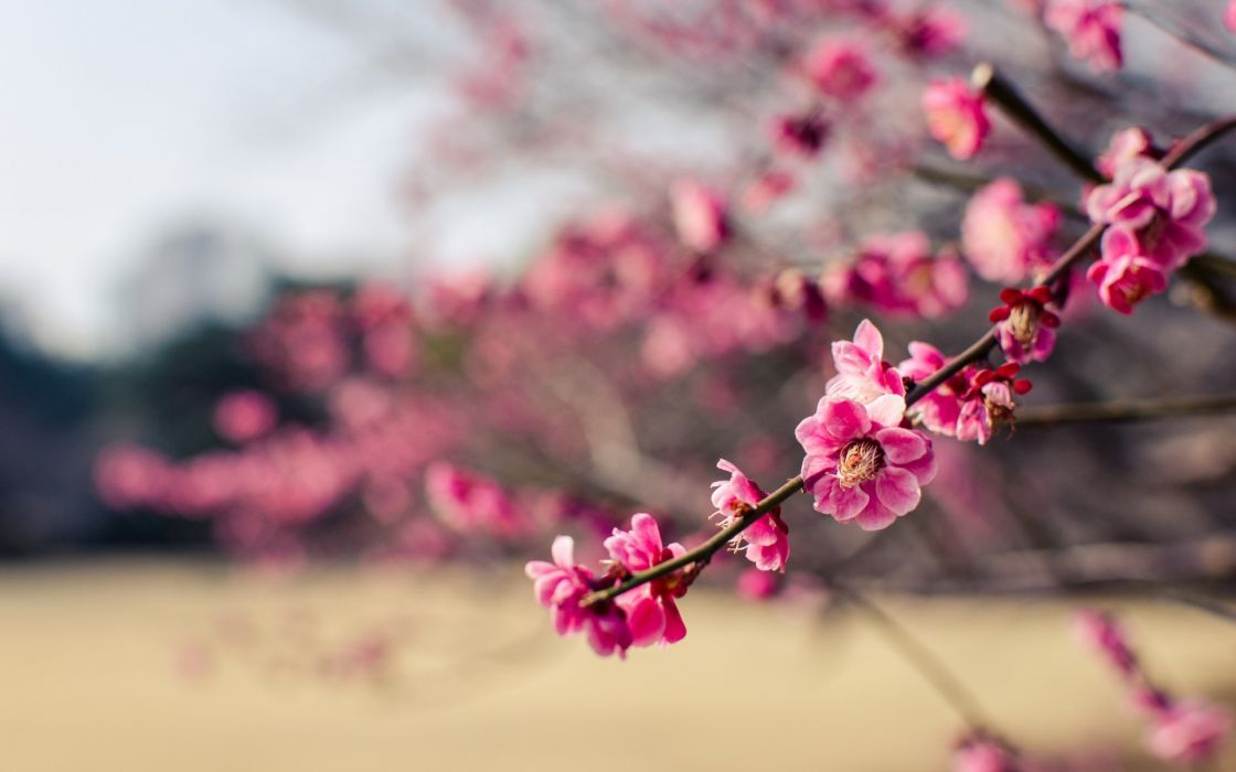 Japan park plum tree branches flowers pink petals close-up blurred wallpaper