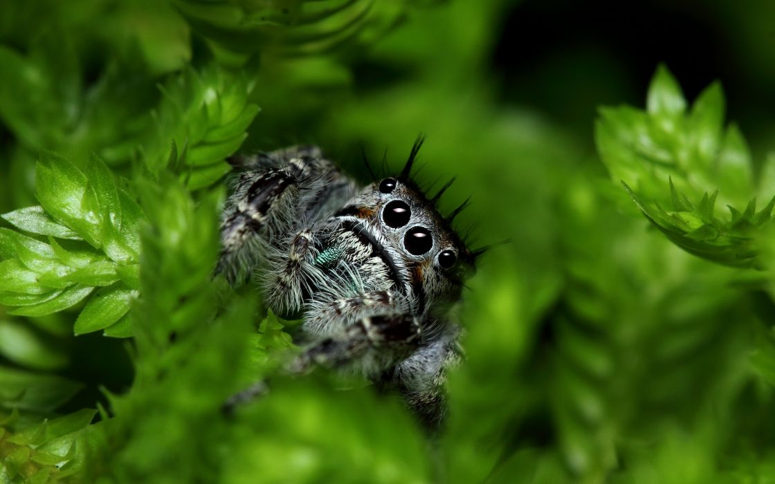 macro  spider  green insects eyes face wallpaper