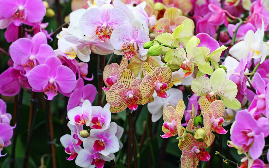 orchid phalaenopsis flower nature color petals wallpaper